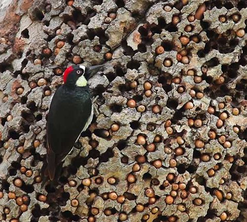 Acorn Woodpecker stores acorns in a granary