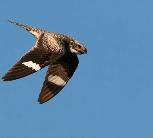 Common Nighthawk dives creating a buzzing sound with its feathers