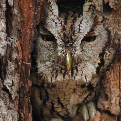 Eastern Screech-Owl hides in a tree hole
