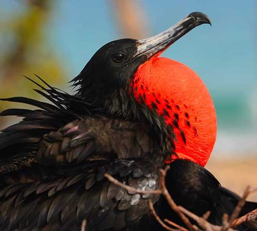 Male Magnificent Frigatebird inflates his red throat pouch