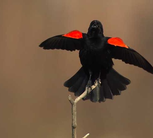 Male Red-winged Blackbird spreads his wings