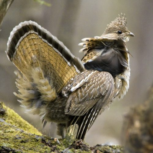 Ruffed Grouse with wings spread