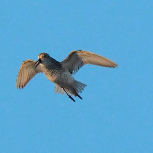 Semipalmated Sandpiper calls while hovering overhead