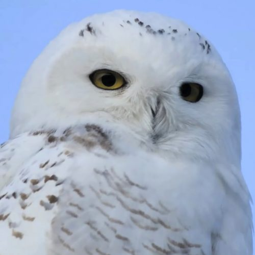 A Snowy Owl staying warm with insulating feathers