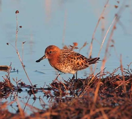Spoon-billed Sandpiper foraging along the shore