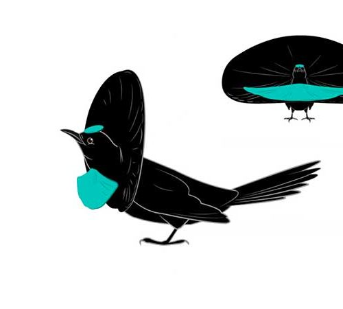 A diagram showing the transformation of the Superb Bird-of-Paradise during courtship display