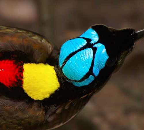The colorful Wilson's Bird-of-Paradise