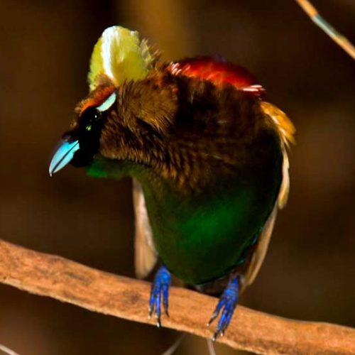 The diversity of colors in the Magnificent Bird-of-Paradise
