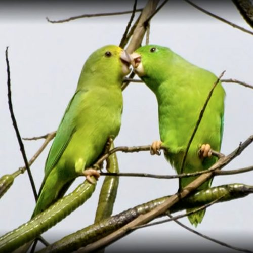 Green-rumped Parrotlets calling while still in their nest