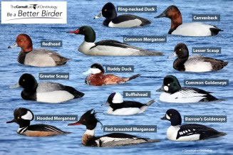 Cornell_Lab-Diving_duck_males_puzzle