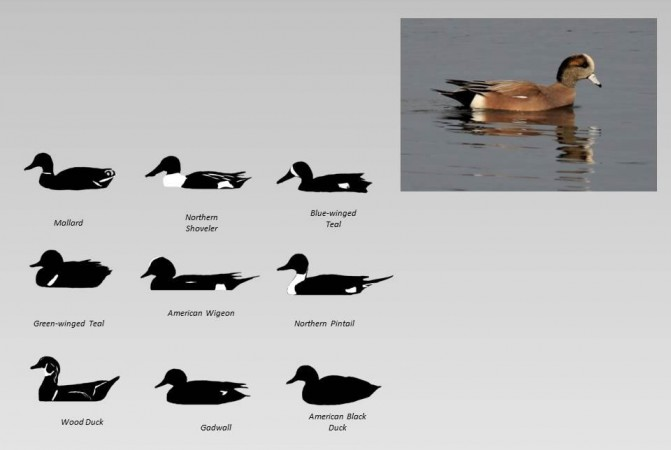unidentified duck and duck silhouettes