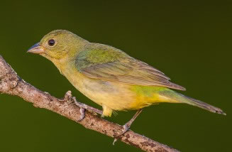 Painted Bunting Female : Ray Downs