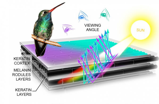 Iridescent feathers change color with different viewing angles, an effect caused by the protein structure of the feather barbules. Illustration: Andrew Leach.
