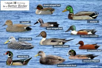 dabbling ducks puzzle