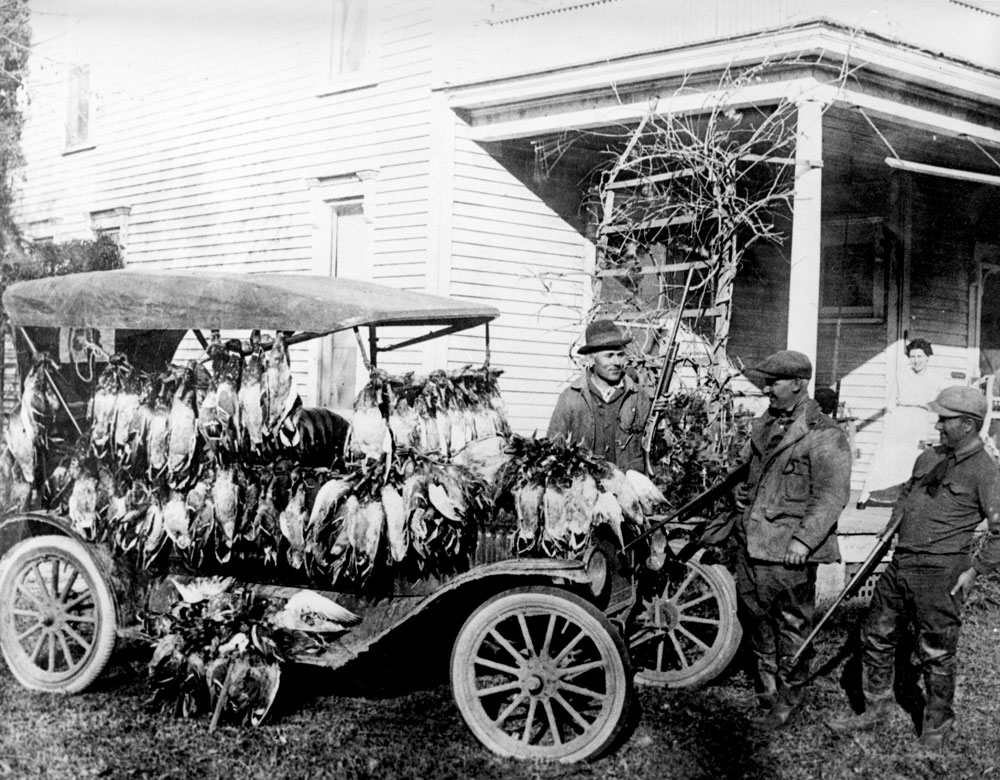 Shot waterfowl (here mostly drake Mallards) were transported to larger urban markets by rail, boat, or car; USFWS.