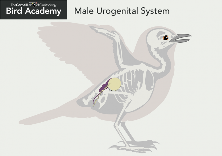 bird_anatomy-04_male_urogenital_system
