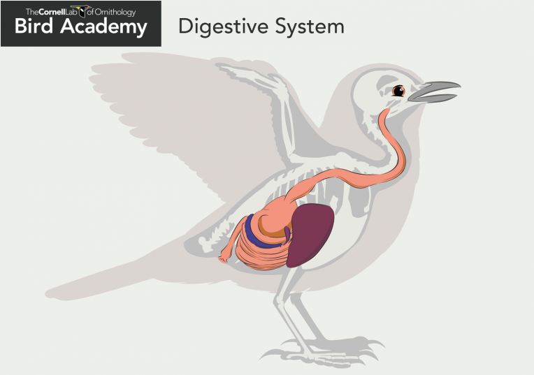 Bird Anatomy-Digestive System Gizzard Crop