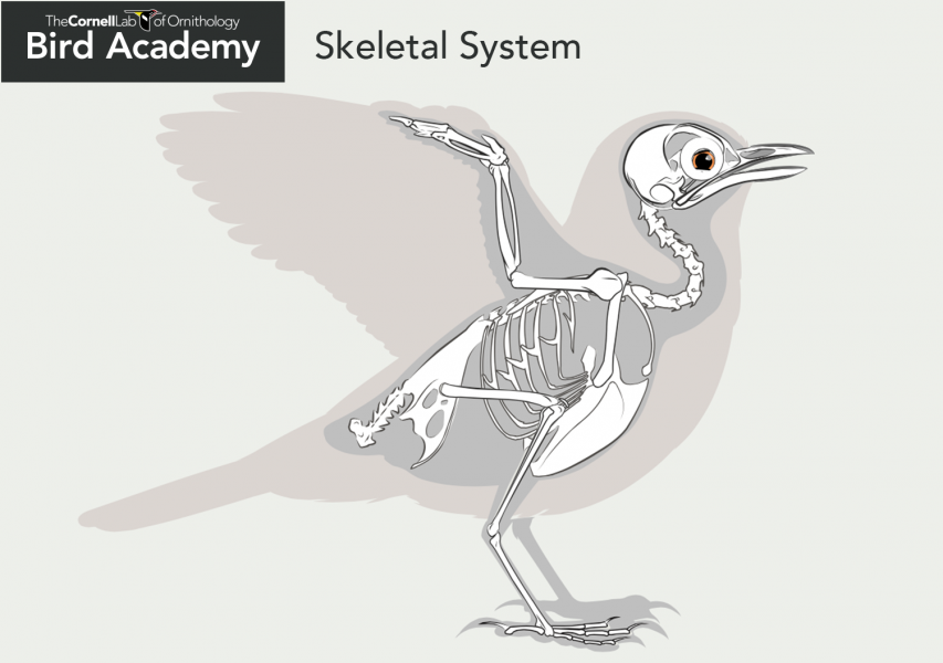 Bird Anatomy-Skeletal System Bones