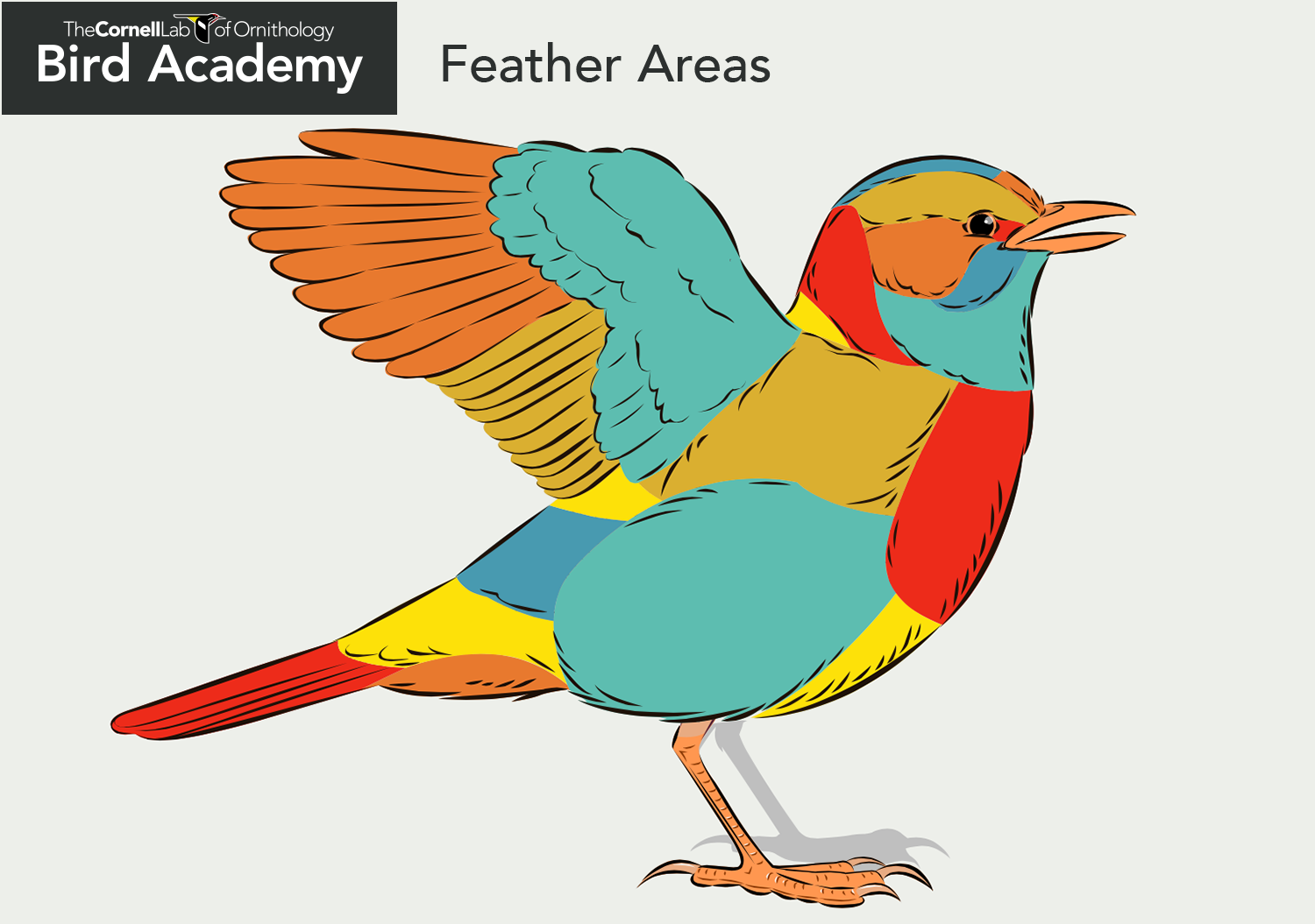 All About Bird Anatomy Academy The Cornell Lab Chicken Bones Wing Diagram Feather Areas
