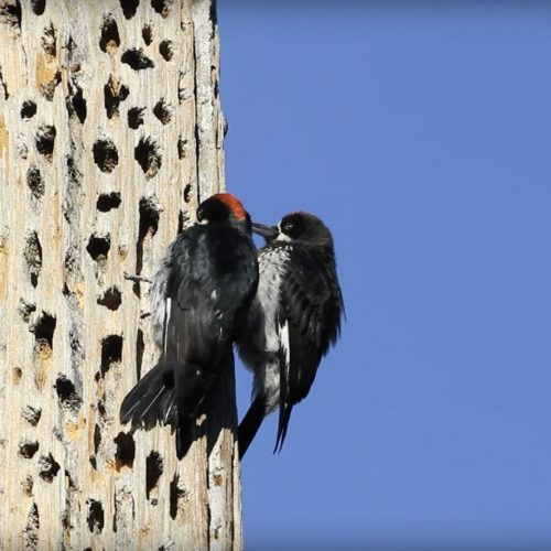 Acorn-Woodpecker-Feeds-Young