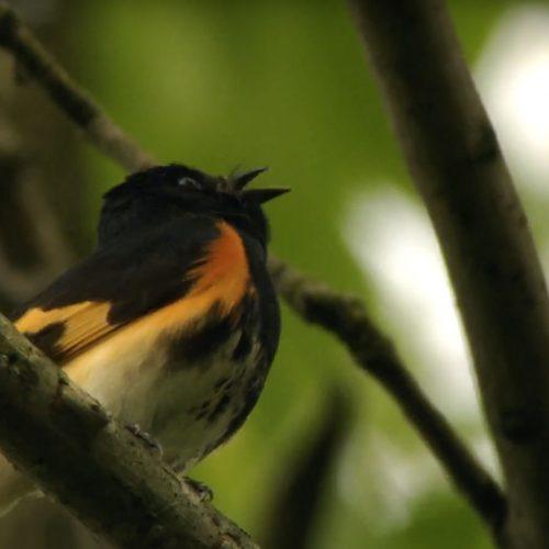 American-Redstart-Singing