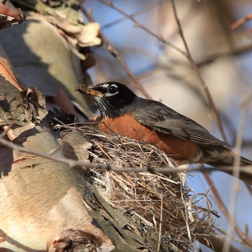 American-Robin-Builds-Nest