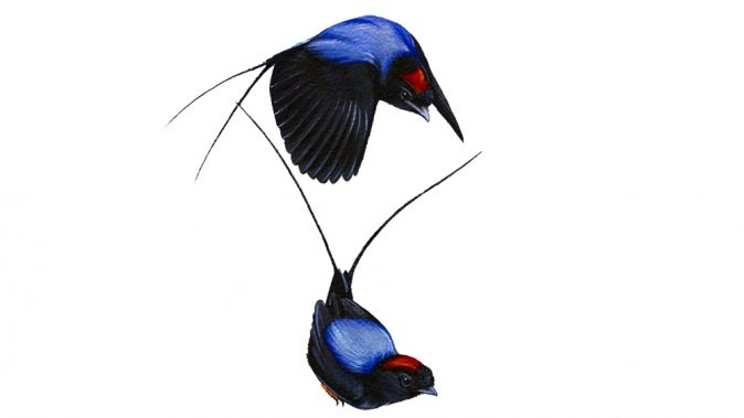 painting of long-tailed manakins from wall of birds