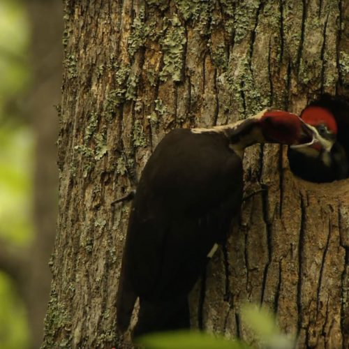 Pileated Woodpecker Male and neslings