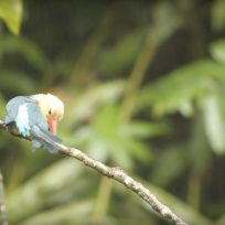 Preening-Stork-billed-Kingfisher