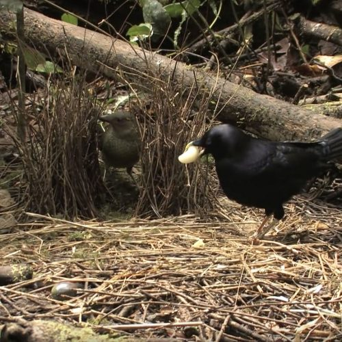 Satin Bowerbirds at bower