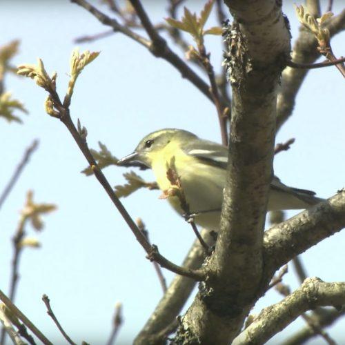 Cerulean-Warbler-Gleans-Foliage