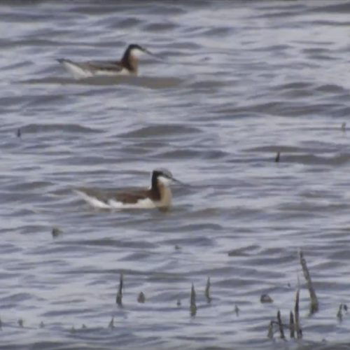 Wilson's-Phalaropes-feeding