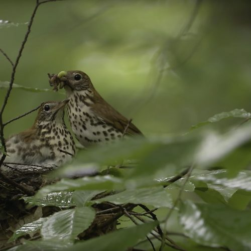 Wood_Thrush_Feeding_Young