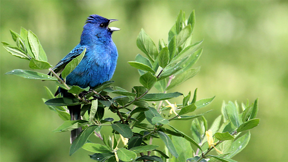 Mostly blue bird singing perched on green, leafy twigs with bill open singing. Indigo Bunting male
