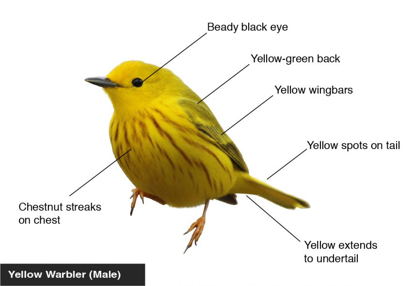 Yellow Warbler (Male) Yellow spots on tail, Yellow-green back, Yellow wingbars, Chestnut streaks on chest, Beady black eye