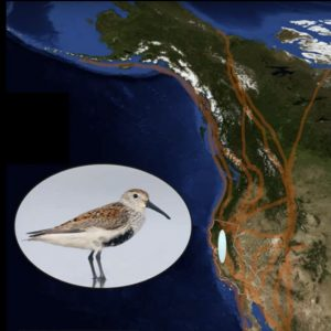 Dunlin and Pacific flyway map