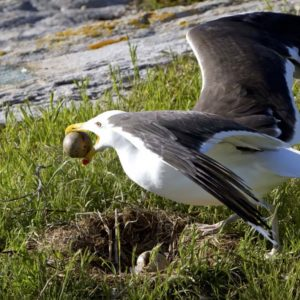 Great Black-backed Gull stealing neighbor egg