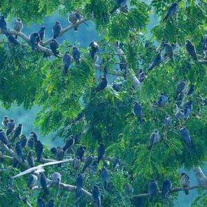 Amur Falcons