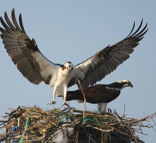Ospreys at the nest