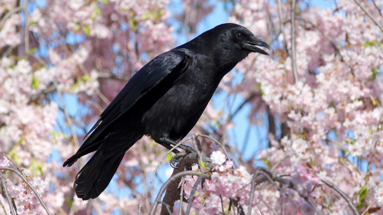 American Crow in flowering tree