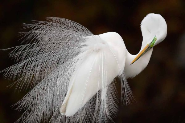 Great Egret by Melissa Groo