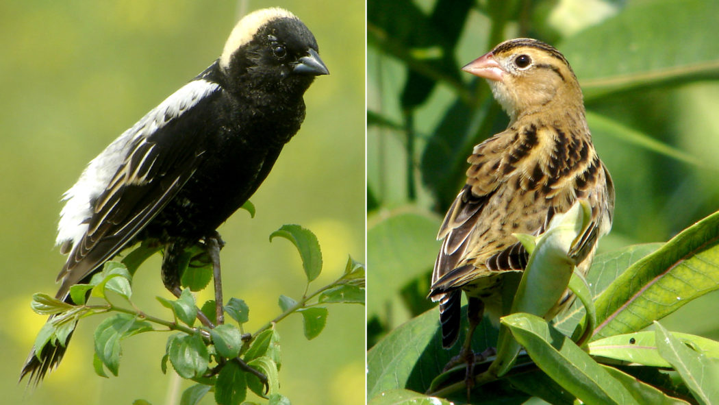 Male Bobolink in breeding plumage with black underside and white back compared with winter male that is brown and streaked without any large areas of black