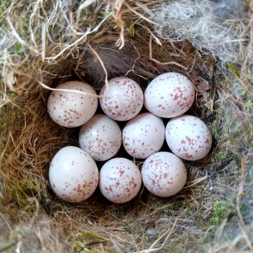 Chickadee eggs in nest