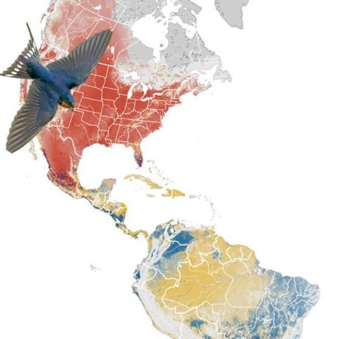 Barn Swallow Map