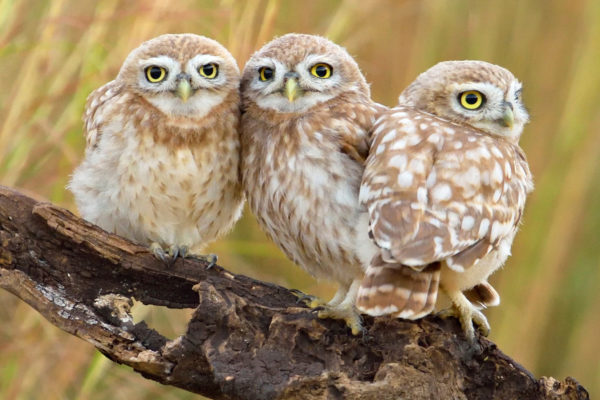 three Little-Owls