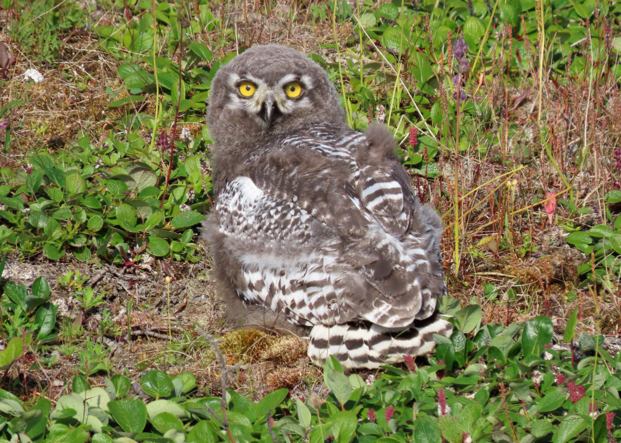 Owl with yellow eyes, mostly all grey fluffy feathers, with white and brown-grey barring on the tail and wings