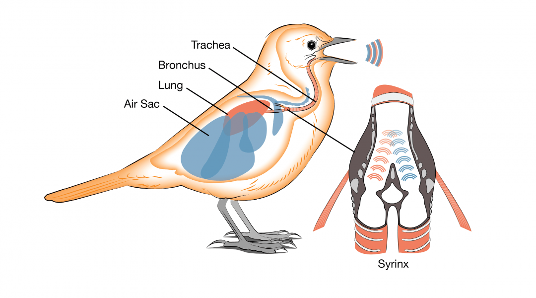 Birds use a syrinx to produce sound