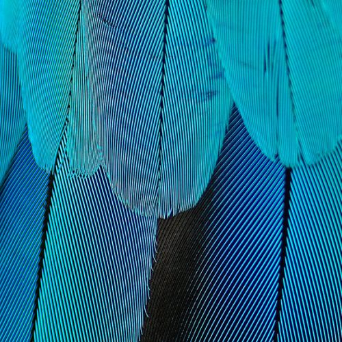 Detail of blue feathers