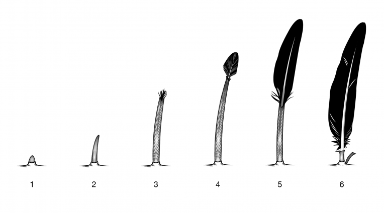 Feather growth stages illustration by Andrew Leach