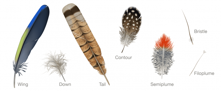 Feather types illustration by Andrew Leach